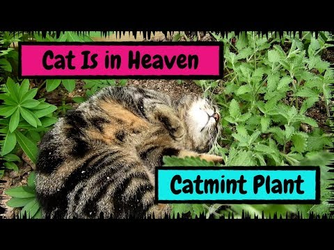 My Cat Is in Heaven after Finding the Catmint Plant