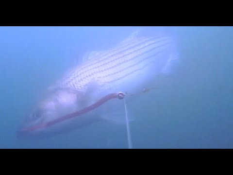 Striped Bass Fishing - Underwater View!