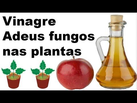 Vinagre de maçã o melhor antifungos que ja usei nas minhas plantas