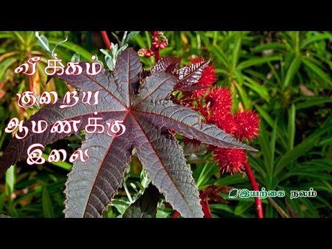 வீக்கம் குறைய ஆமணக்கு இலை  | Amanakku leaf uses in Tamil
