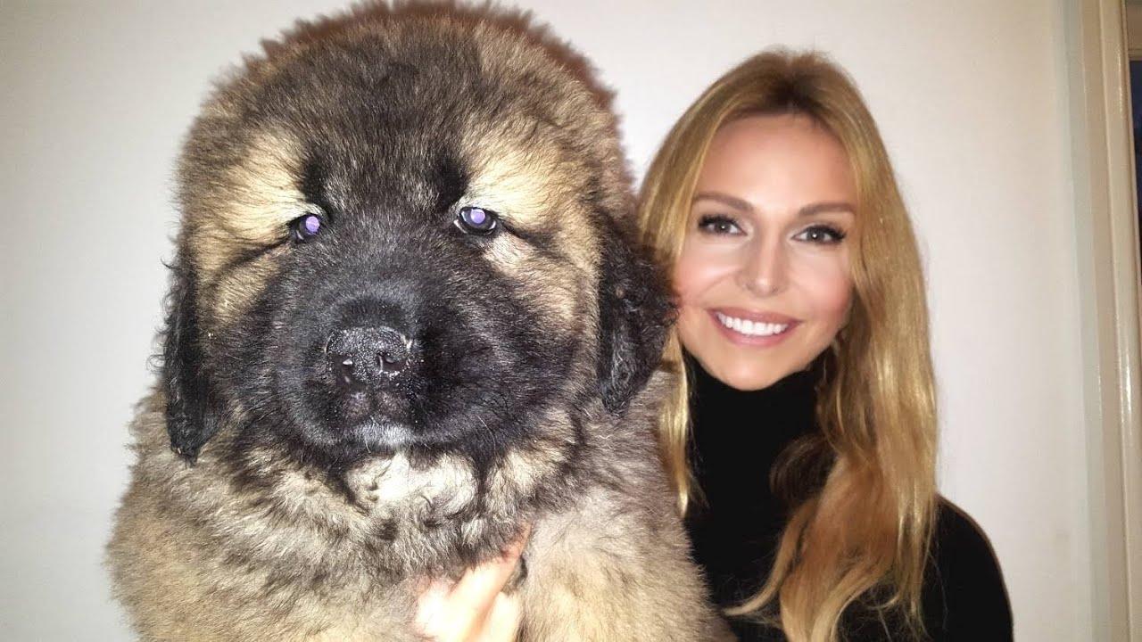 WOLF KILLER? CAUCASIAN SHEPHERD OVCHARKA MOUNTAIN DOG PUPPIES