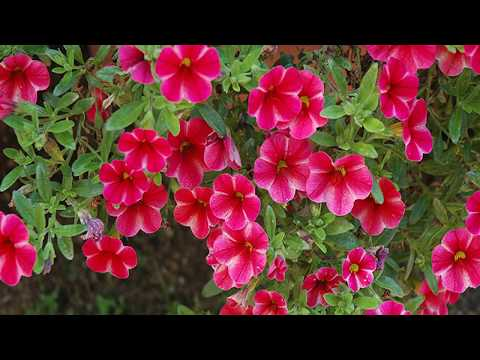 How to Grow Calibrachoa Plants at Home