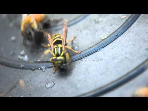 yellow jacket and honey bees