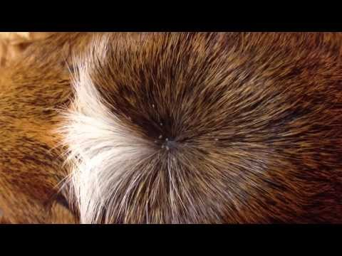 Guinea pig lice in action.