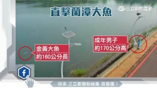 蘭潭魚精現蹤? 空拍驚見160cm大魚|三立新聞台