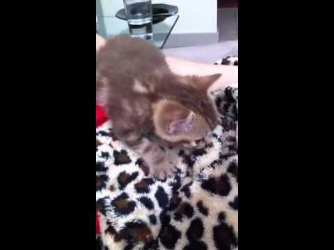 3 week kitten trying to find a nipple