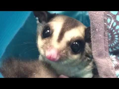 The could but did not bite sugar glider from the fair