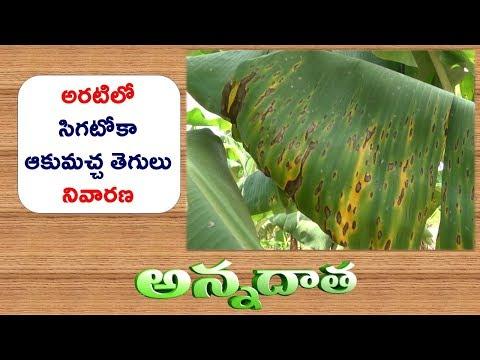 Sigatoka Leaf Spot in Banana || ETV Annadata