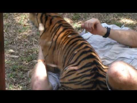 Keeper playing with a tiger cub at Australia Zoo