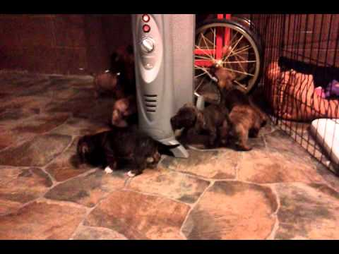 Dachsund Puppies Getting Warm by the Heater