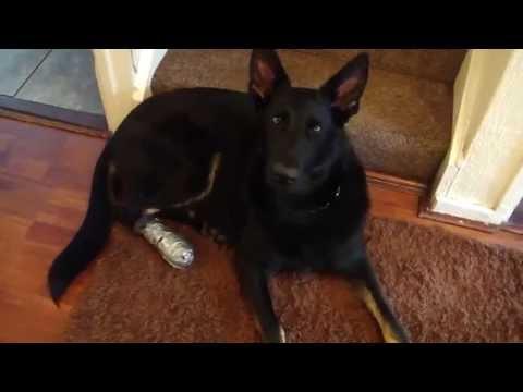 Cut dog paw first aid