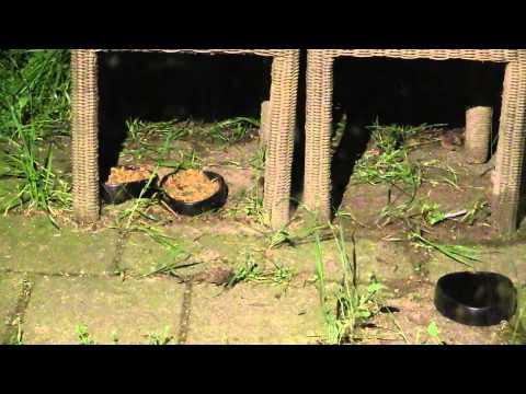 hedgehogs back from hibernation! Egels weer terug na winterslaap