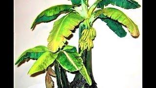 केले के पेड़ की बोंज़ाई कैसे तैयार करें - आपकी फरमाइश -kele ki bonsai kaise taiyar karein