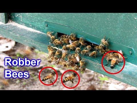 Giant Honeybees robber my honeybees - It's crazy bees!