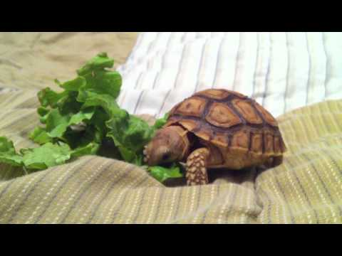 Baby Tortoise eating on the bed