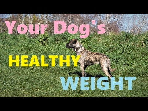 How to tell if a dog is Too Fat or Too Thin
