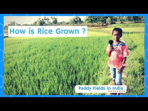 How Does it Grow ? Rice | Paddy