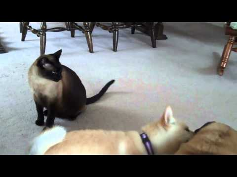 Siamese- Cat & Shiba Inu-Dog play-fight: Round Two (Pug is the referee)