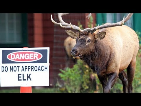 Yellowstone National Park newsElk warning after second attack in days