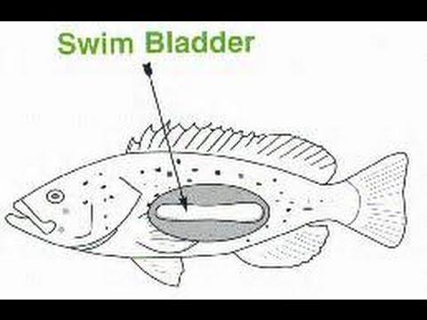 How to cure swim bladder disease (fish)