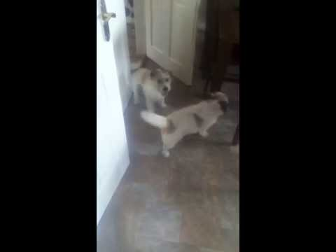 2 dogs fighting