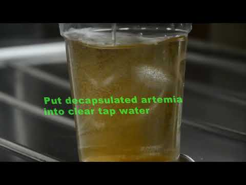 Decapsulation and hatching process for Artemia Egss. Step by step