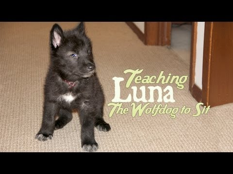 Training a Wolfdog Puppy to Sit at 2 Months Old