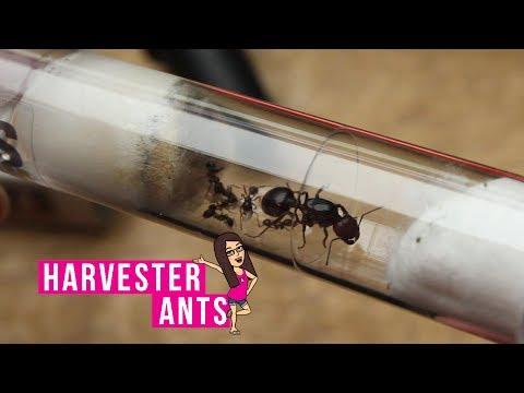 New Messor Barbarus (Harvester Ant) Colony!