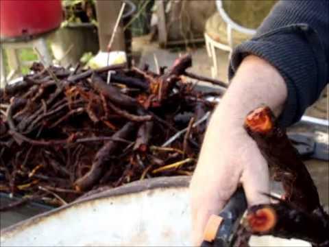 Harvesting Madder: A natural red plant dye