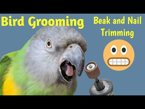 Senegal Parrot Grooming and Examination at The Bird Clinic | Beak and Nail Trimming