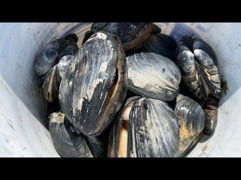 Newport Oregon Gaper Clam digging! How to dig clams, 05082016