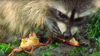 Raccoon vs Rock Crab - Blue Planet - BBC
