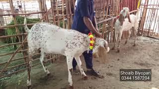 Rajanpuri Bakra Baby Price