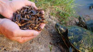 Turtles Love Crickets!