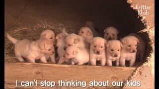 Golden Retriever Dog Couple Hustles As Models To Make Money For These Nuggets | Kritter Klub