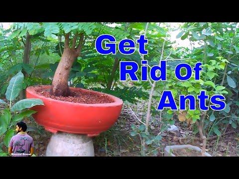 बोन्साई को चींटियों से कैसे बचाये /How to Rid Ants from Pot Plants - 14th May 2017 / Mammal Bonsai