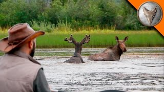 Download Wild Moose Encounter! Video