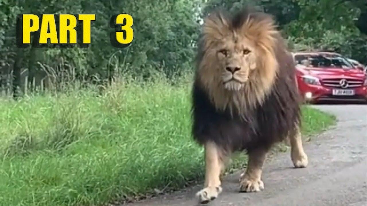 Самые невероятные встречи с дикими животными на дороге, часть 3