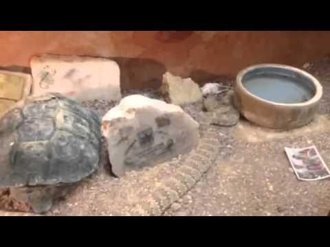 Gracie the Rattlesnake
