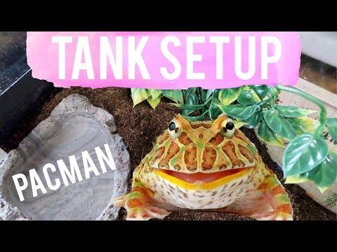 How To Setup Pacman Frog Tank | Albino Horned Pacman Frog Tank Setup