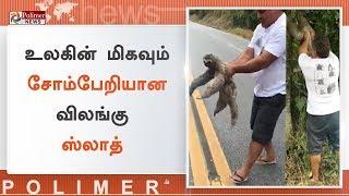 சாலையில் ஊர்ந்து சென்ற ஸ்லாத்தை காப்பாற்றிய வாகன ஓட்டி   #SlothRescued