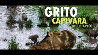 Muitas Capivaras Gritando Juntas no Rio Chapecó