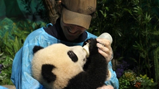 Thranduil becomes a panda babysitter? Movie star Lee Pace visits giant pandas in Chengdu
