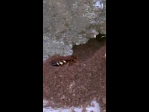 Large scary digging Wasp