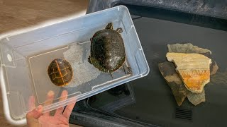 2 Turtles DONATED for My Pool Pond!!!