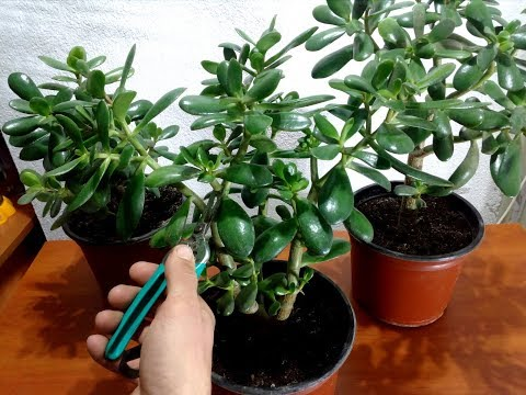 How to Pruning a Jade Plant