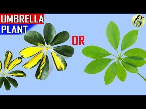 UMBRELLA TREE: SCHEFFLERA PLANT CARE TIPS AND PROPAGATION