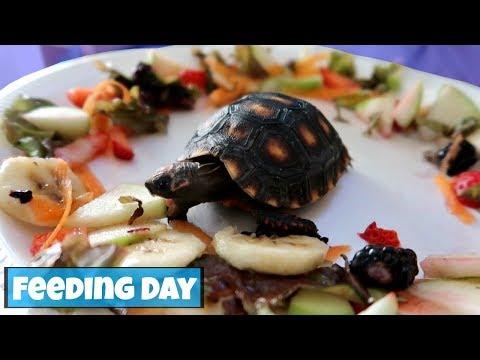 THANKSGIVING TORTOISE FEAST!! **Feeding Day**