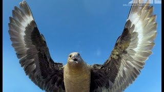 Bird Steals EggCam & Films Penguins From The Air