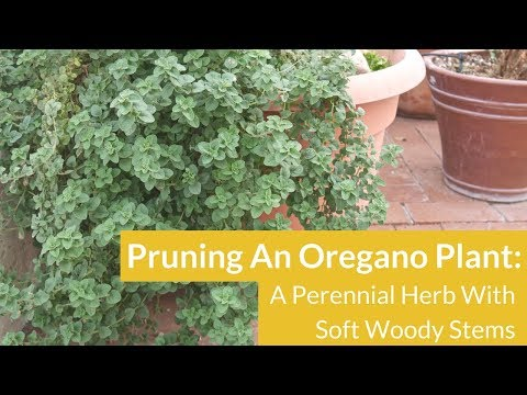 Pruning Overgrown Oregano / Joy Us Garden